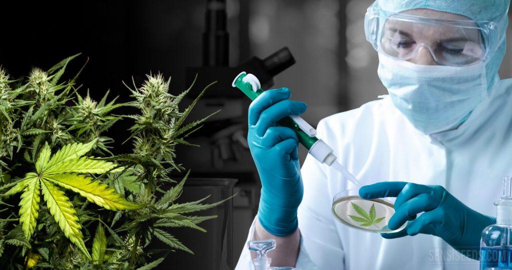 Marihuana medicinal: desde la Fibromialgia hasta el Cáncer