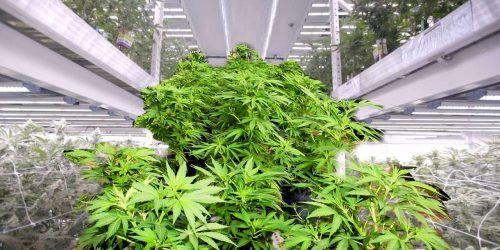 bombillas, iluminación para cultivo de interior de marihuana, luces para cannabis