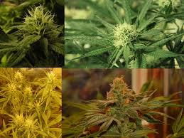 Las 3 variedades principales de marihuana
