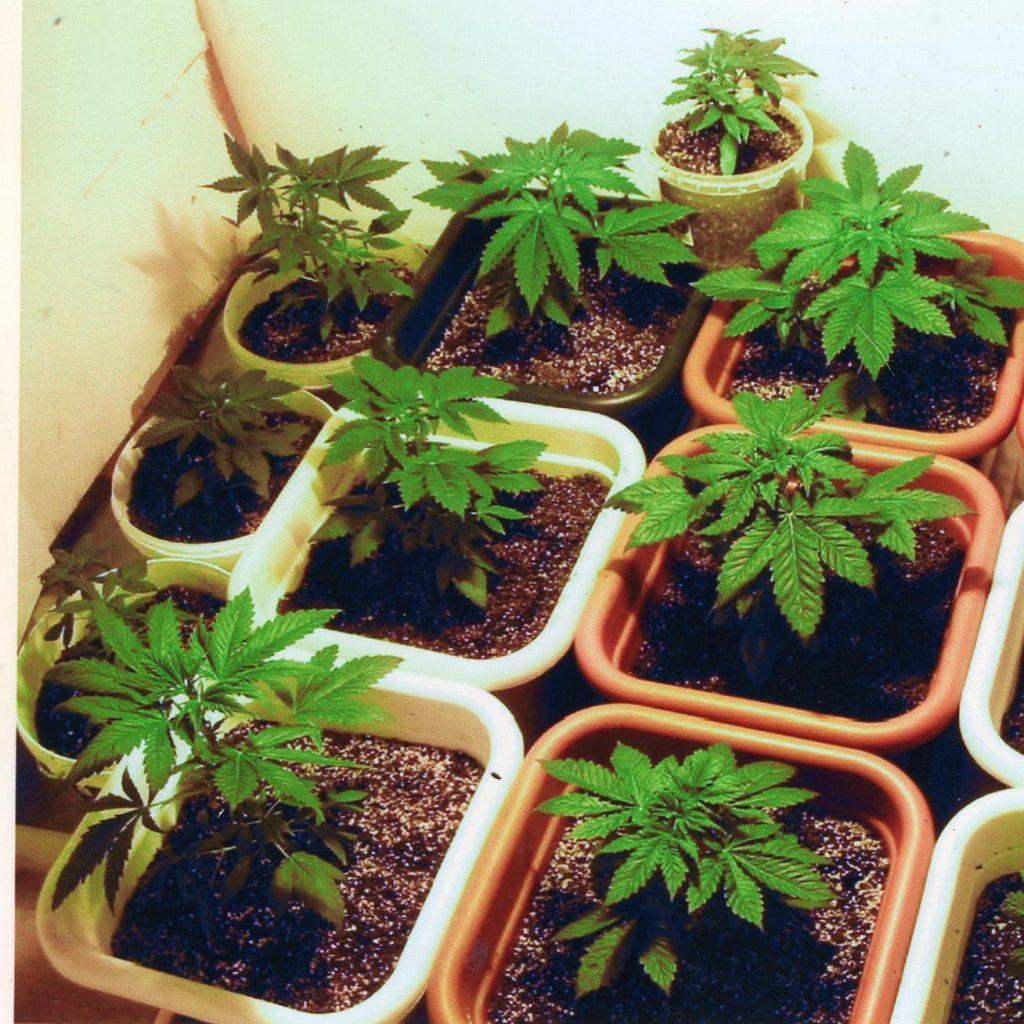 Como clonar una planta de Marihuana