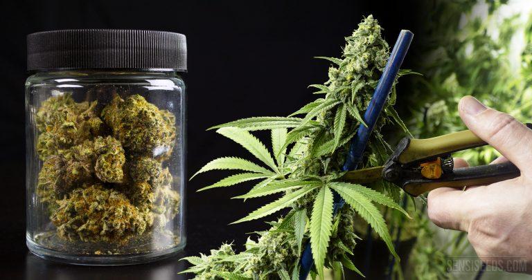 ¿Cuándo es el momento exacto para cosechar las plantas de Marihuana?