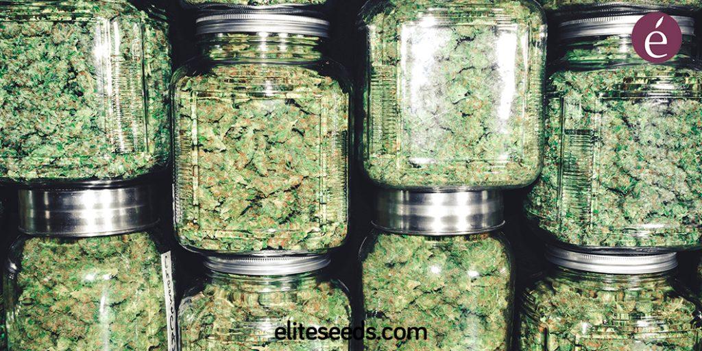 Cómo curar tus Cogollos de Marihuana