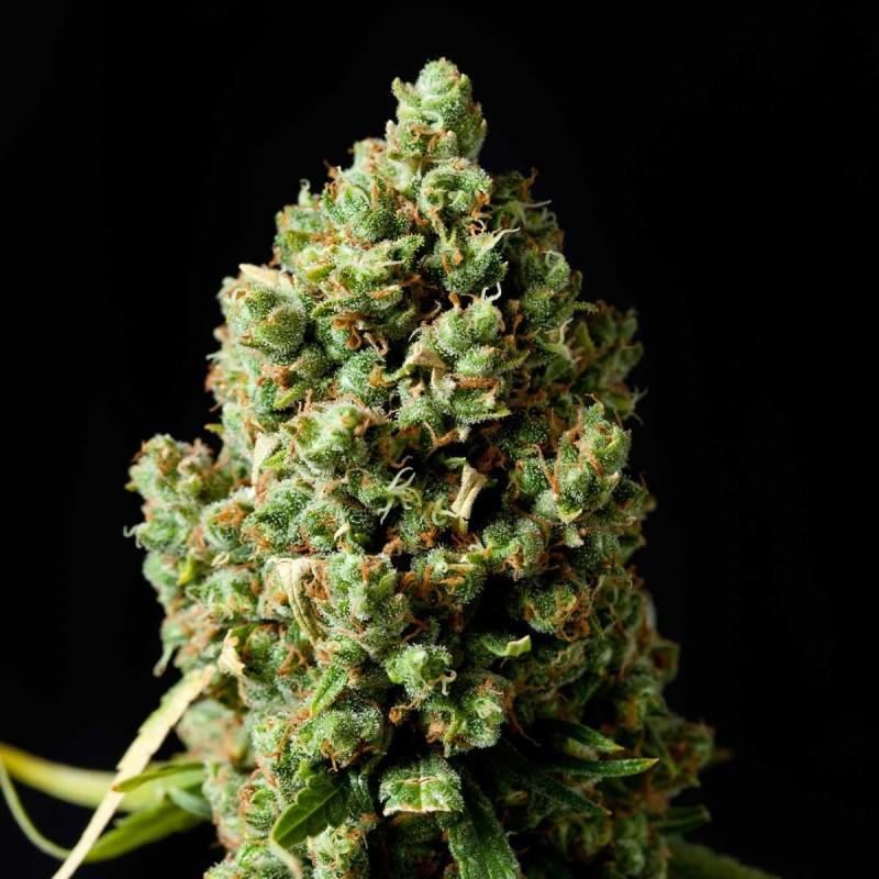 8 Variedades de Marihuana perfectas para cultivar en casa
