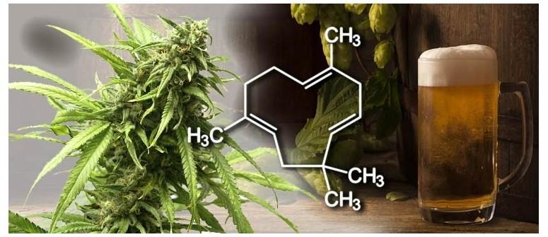 Conoce los Terpenos del Cannabis y lo que hacen.