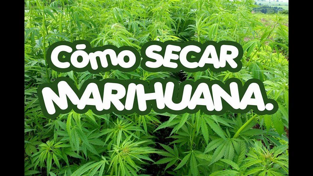 Cómo Secar la Marihuana