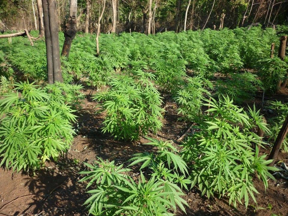 Como se Produce la Marihuana