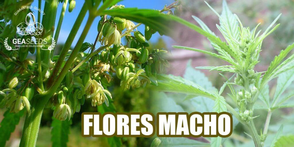 Como saber si la planta de Marihuana es macho o hembra