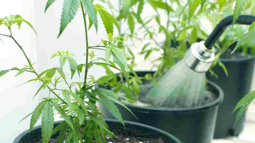Cómo regar las plantas de Marihuana