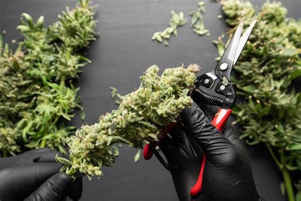 Cuando Podar tu Planta de Marihuana