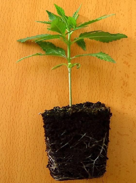 Invenciones sobre las Diversidades de Marihuana Autoflorecientes