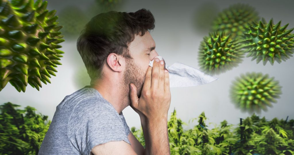 Guía de las Alergias a la Marihuana