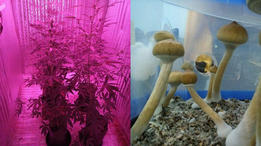 Mezclar cannabis con hongos psicodélicos