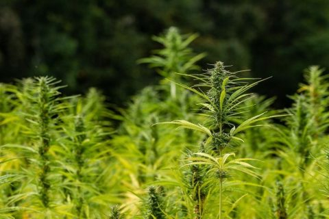 Tipo de marihuana